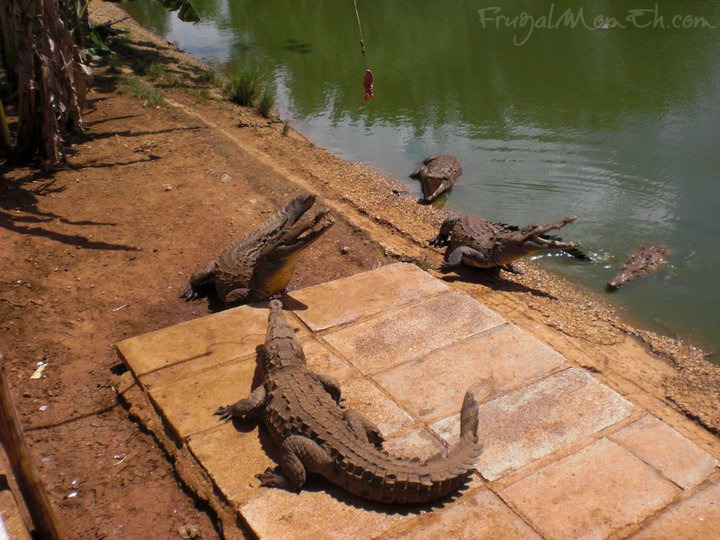 Cuban crocodile  Farm