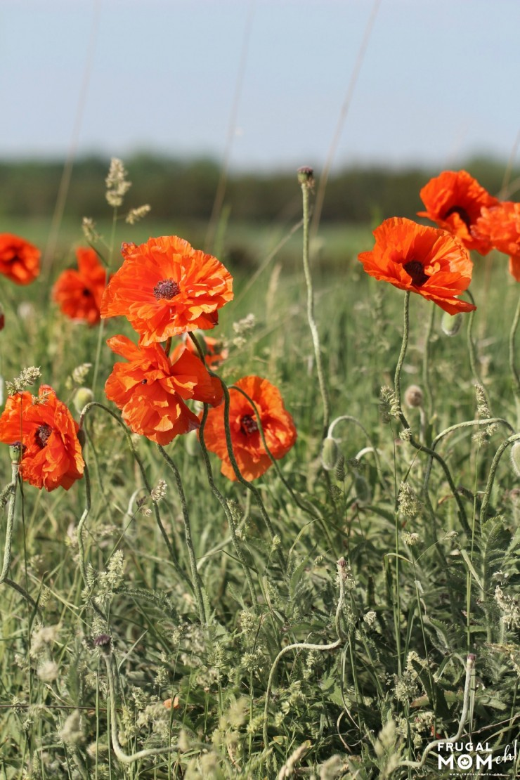 Poppies, Prince Edward County - 7 Must-See Attractions in Prince Edward County, Ontario - One of Canada's Top Tourist Destinations!