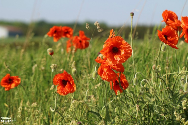 Poppies growing in Prince Edward County - 7 Must-See Attractions in Prince Edward County, Ontario - One of Canada's Top Tourist Destinations!