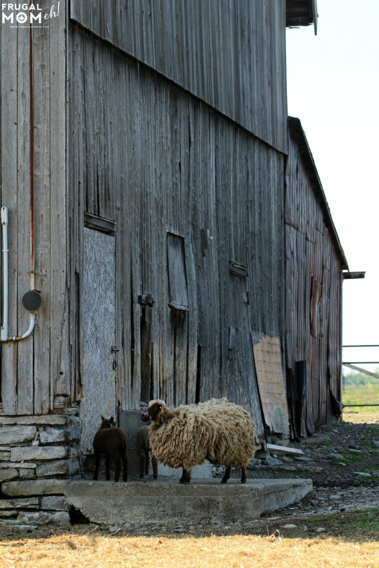 Sheep Farm - 7 Must-See Attractions in Prince Edward County, Ontario - One of Canada's Top Tourist Destinations!