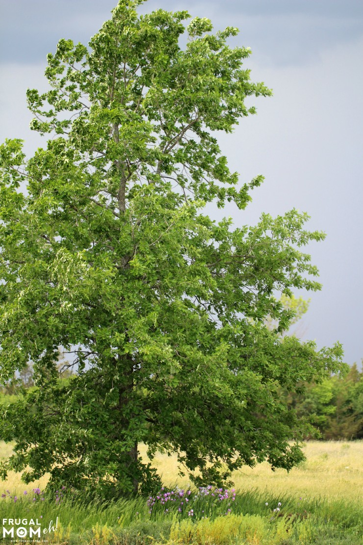 Tree in Prince Edward County -  - 7 Must-See Attractions in Prince Edward County, Ontario - One of Canada's Top Tourist Destinations!