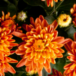 The Best Fall Perennials for your Garden