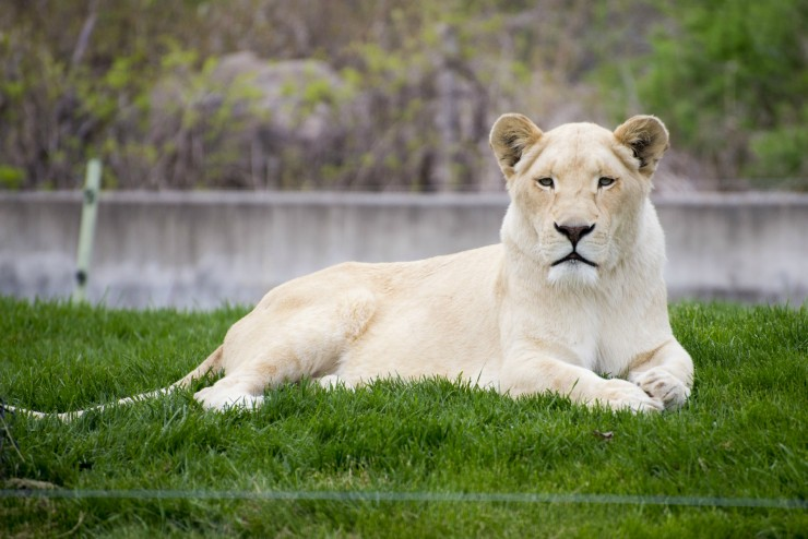 White Lioness at the Toronto Zoo